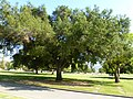 2013 - Native Live Oak Kept in Landscape, Birch Lane, Forest Lawn Memorial Park, Glendale, CA - panoramio.jpg