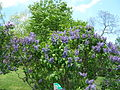 2013 Rochester Lilac Festival - Flower City Lilac - 03.JPG