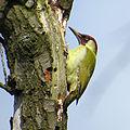 2014-04-14 Picus viridis, Gosforth Park 2.jpg