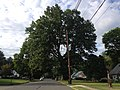 2014-08-24 17 43 06 Large Pin Oak along Terrace Boulevard in Ewing, New Jersey.JPG