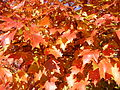 2014-10-30 10 08 36 Red Maple foliage during autumn along Dunmore Avenue in Ewing, New Jersey.JPG