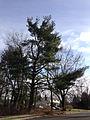 2014-12-30 13 19 55 Eastern White Pine on Mark Lane in Ewing, New Jersey.JPG