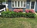2015-05-18 12 56 22 'Rosebud' Azaleas and Hostas along Terrace Boulevard in Ewing, New Jersey.jpg