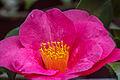 2015-08-23 Camellia sasanqua - 2.jpg