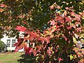 2015-11-11 12 46 55 Red Maple foliage during autumn at the intersection of Tranquility Lane and Tranquility Court in the Franklin Farm section of Oak Hill, Fairfax County, Virginia.jpg