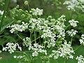 20150505Chaerophyllum temulum.jpg