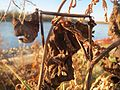 20161128Aristolochia clematitis3.jpg