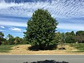 2017-09-29 12 53 57 Pin Oak along Kinross Circle near Scotsmore Way in the Chantilly Highlands section of Oak Hill, Fairfax County, Virginia during the early stages of a dry spell, with dry grass showing up within the root zone of the tree.jpg
