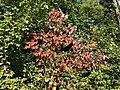 2018-09-30 16 08 18 Acer rubrum foliage during early autumn along at walking trail in the Franklin Farm section of Oak Hill, Fairfax County, Virginia.jpg