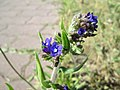 20180505Anchusa officinalis2.jpg
