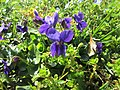 20190319 Viola odorata 5.jpg