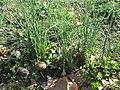 20190321 Allium vineale 2.jpg