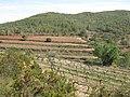 208 Vinyes de les Rocasses (Vespella de Gaià), al fons el camí de Salomó.jpg
