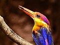 22. Close-up of Oriental dwarf kingfisher (Ceyx erithaca) photograph by Shantanu Kuveskar.jpg