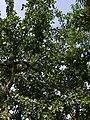 2 vilvam tree.jpg