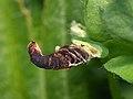 37.044 BF547 Coleophora discordella, larval case on Bird's-foot Trefoil (5591970319).jpg