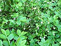 516. Toksovo. Blueberry on the shore of Lake Veroyarvi.jpg