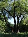 617683 A 683 Krakow Krzesławice Wankowicza 25 park w zespole dworsko parkowym 33.JPG
