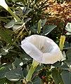 7958 - D.innoxia - Fleur.jpg