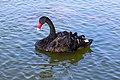 A Black Swan Swimming near Fishes in The Al Qudra Lake.jpg