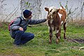 A Calf in Horodiste Village and Israeli Artist Yuri Kabisher.jpg