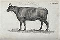 A Devonshire cow. Stipple engraving by Neele. Wellcome V0021700.jpg
