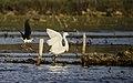 A Little egret put to flight by a Black-winged stilt.jpg