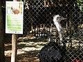 A ema (Rhea americana), também chamada nandu, nhandu, guaripé ou xuri. A ema é uma ave da família Rheidae cujo habitat se restringe à América do Sul. Apesar de possuir grandes asas, não voa, m - panoramio.jpg