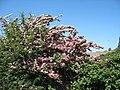 A hawthorn in blossom on the Bryn Hafod-y-Wern Quarry road - geograph.org.uk - 827543.jpg