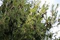 A pine and cones at Gibberd Garden Essex England 01.JPG