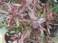 Acalypha wilkesiana copper plant-1-yercaud-salem-India.JPG