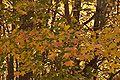 Acer grandidentatum branches.jpg