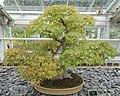 Acer palmatum-IMG 6102.jpg