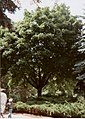 Acer pseudoplatanus001.jpg