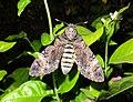 Acherontia styx (Thailand, Nonthaburi, Bang Bua Thong, Soi Mu Ban Bua Thong 1, 25.i.2015) (D. Kruger) 2.jpg