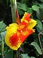 Achira (Canna indica) (14617910170).jpg