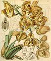 Acineta superba (as Peristeria humboldtii var. fulva) - Curtis' 71 (Ser. 3 no. 1) pl. 4156 (1845).jpg