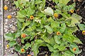 Acmella oleracea in Jardin des 5 sens (1).jpg