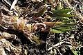 Acorus calamus kz02.jpg