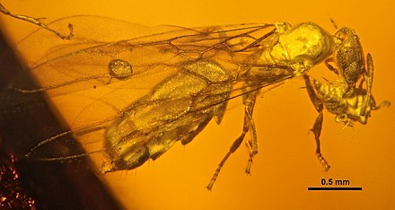 Fossil of the pseudococcid mealybug Electromyrmococcus (in the jaws of an ant) in Miocene Dominican amber[32]