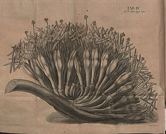 Aloe vera - Historical image of aloe from Acta Eruditorum, 1688