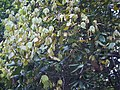 Actinodaphne ¿ angustifolia ? (8291368420).jpg