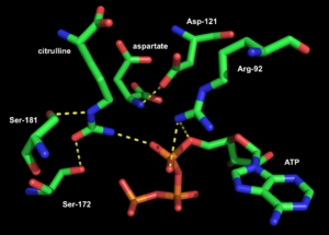 Argininosuccinate synthase - Image: Active site of Thermus thermophilus argininosuccinate synthetase 01