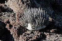 Adenia pechuelii-01