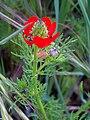 Adonis annua subsp. castellana BudandFruits 19April2009 CampodeCalatrava.jpg
