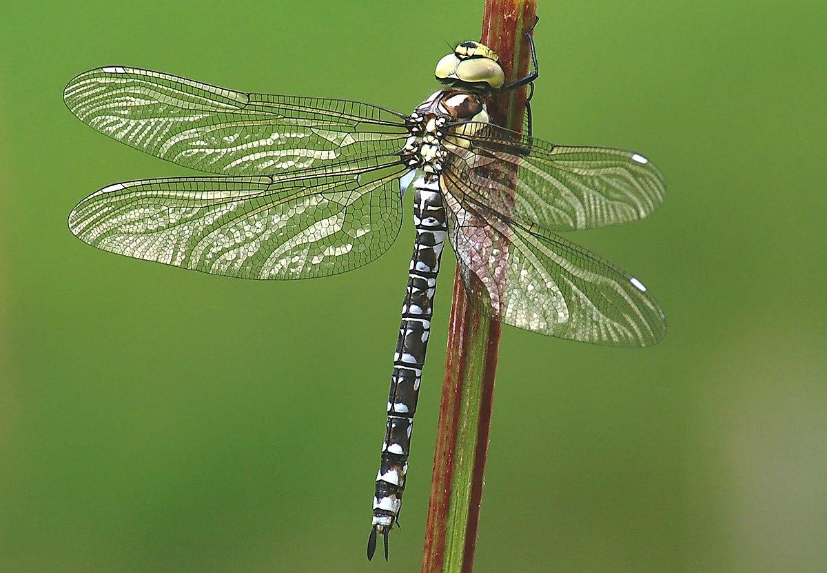 Px Aeshna Cyanea Female