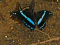 African Blue-banded Swallowtail (Papilio nireus lyaeus) taking off ... (32359308614).jpg