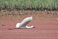 African Spoonbill, Platalea alba at Marievale Nature Reserve, Gauteng, South Africa (20978312663).jpg