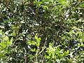 Agalia polystachya-1-kiliyur-yercaud-salem-India.JPG
