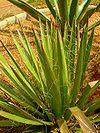 Agave filifera01